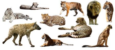 hienas: Conjunto de hiena y otra Feliformia. Aislado en el fondo blanco