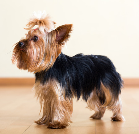 companion: Popular companion dog breed Yorkshire Terrier Stock Photo