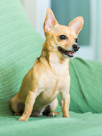 moscovian: Russian Toy Terrier resting  at home