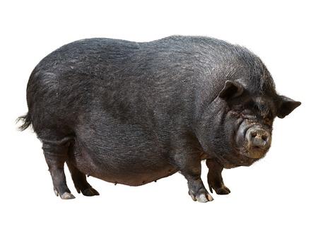sur fond blanc: Cochon noir sur fond blanc