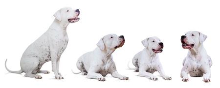 argentino: Set of lying Dogo Argentino, isolated on white background Stock Photo