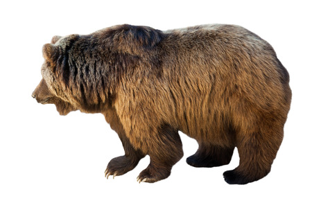 over white background: Standing  bear over white background