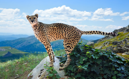 wildness: cheetah standing on stone at wildness