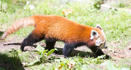bearcat: Red panda (Ailurus fulgens) walking at ground