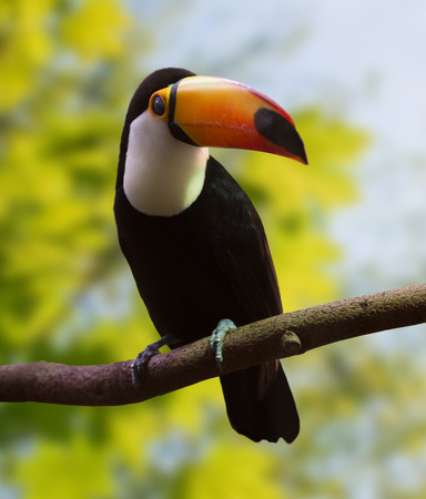 wildness: Toco Toucan  (Ramphastos toco) at wildness area Stock Photo