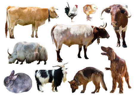 billygoat: Set of dogs, cows and other farm animals. Isolated over white background
