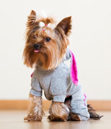catsuit: Portrait of Yorkshire Terrier dog in catsuit indoor Stock Photo