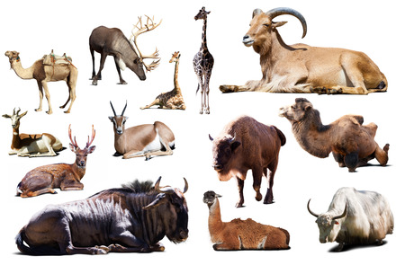 african wildebeest: Set of sitting blue wildebeest and other Artiodactyla mammal animals over white background with shadows