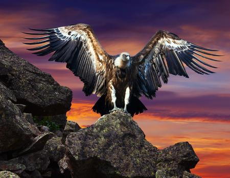 condor: condor  sitting on stone against sunset sky background Stock Photo