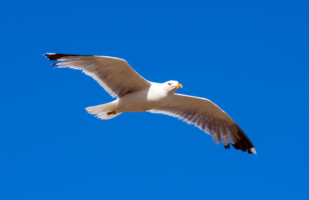 mew: Hovering seagull against blue sky