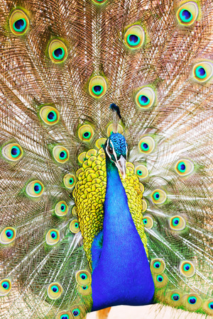 indian peafowl: Closeup of Male Indian Peafowl with beautiful feather at tail Stock Photo