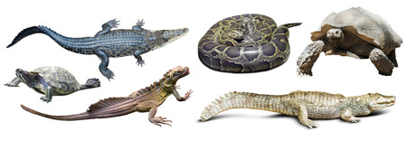 reptilian: set of several reptilian. Isolated on white background