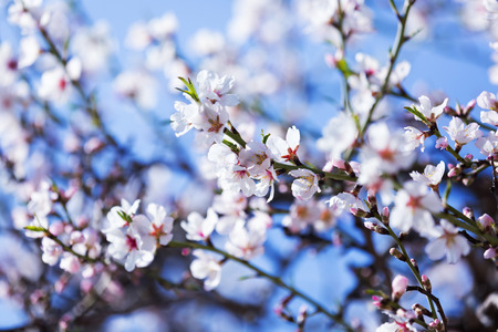 almond bud: blooming almond tree  branch in spring