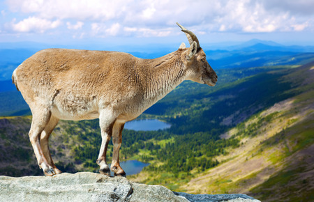 wildness: Standing muflon (Ammotragus lervia) in wildness area Stock Photo