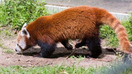bearcat: Red panda  walking in grass