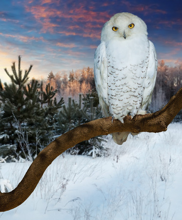 wildness: Sitting snowy owl  at  wildness in winter time
