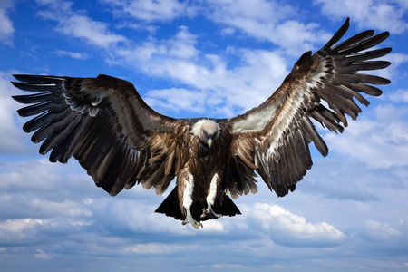 fly: Flying griffin against   sky background Stock Photo