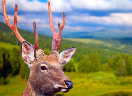 �deer: Sika ciervos (Cervus nippon) en el �rea de lo salvaje