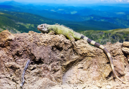 wildness: Green lizard at wildness against mountain landscape