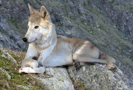wildness: Gray wolf lays on rock in wildness mountains area