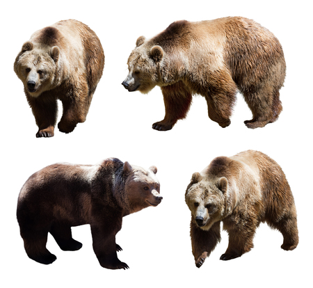 Set of  four brown bears over white background Фото со стока