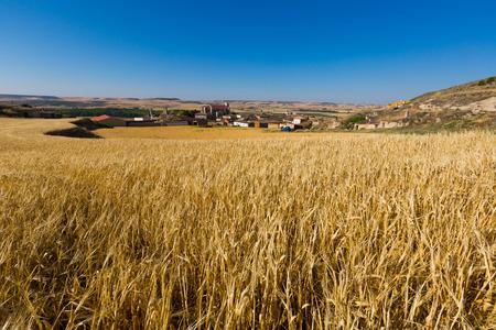 cultivo de trigo: paisaje de verano europea con el pueblo entre los campos. Palenzuela. Provincia de Palencia, Castilla y León, España Foto de archivo
