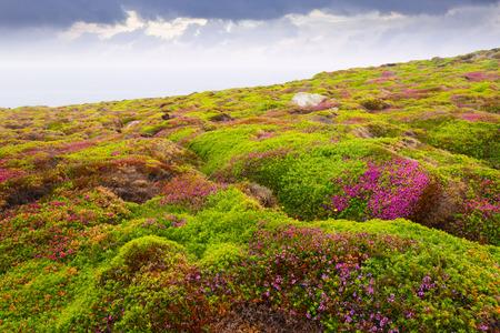 erica: fine-leaved heath (Erica cinerea) plant at ocean  coast