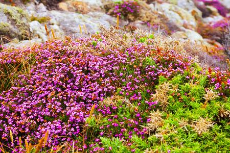 erica: fine-leaved heath plant at ocean  coast. Galicia, Spain