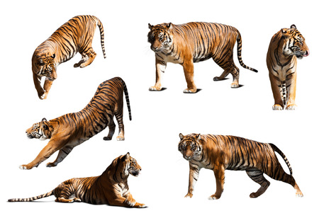 catamountain: set of tigers. Isolated  over white background with shade