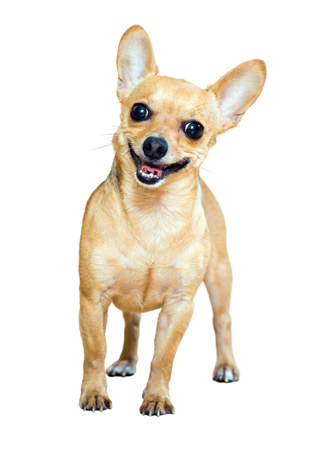 russkiy: Smiling Russian Toy Terrier. Isolated over white