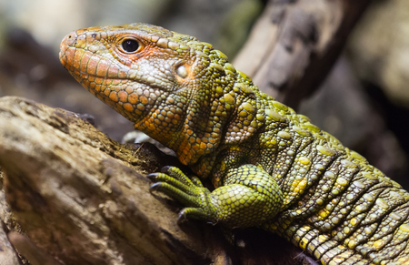 lizard: Closeup of Northern Caiman Lizard on tree in forest Stock Photo