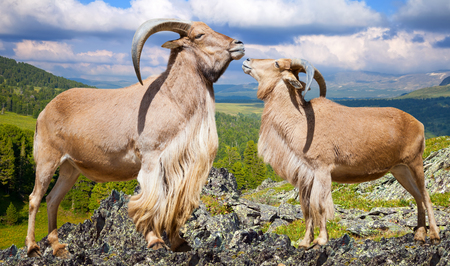 africa kiss: Standing couple of barbary sheeps  on rock in wildness