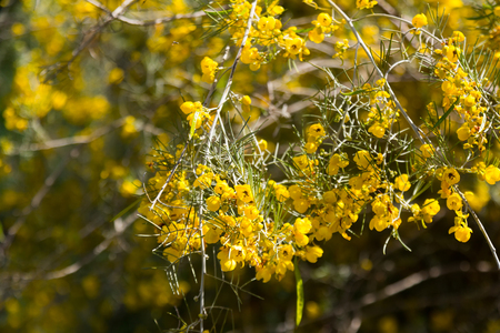 feathery: blooming Feathery Cassia in spring Stock Photo
