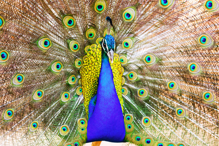 indian peafowl: Male Indian Peafowl with beautiful feather at tail Stock Photo