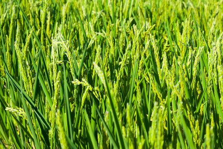 ebre: Green ears of rice at field