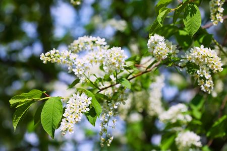 prunus: Bird Cherry tree in full bloom at spring garden Stock Photo