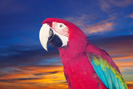 cloude: Portrait of  macaw (Ara chloropterus) over nature