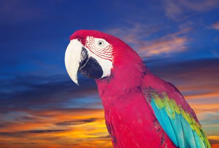 solter�a: Retrato de guacamaya (Ara) sobre la naturaleza