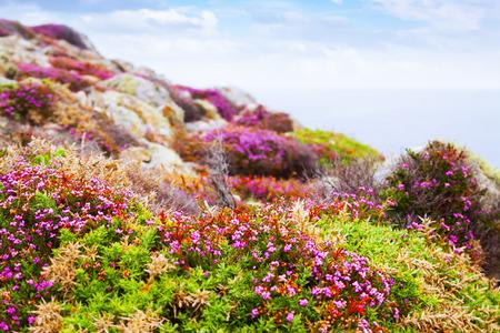 erica: fine-leaved heath (Erica cinerea) plant at ocean  coast. Galicia, Spain Stock Photo