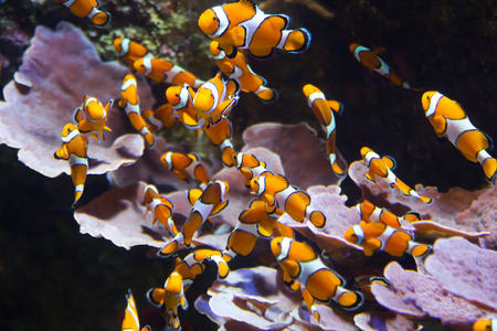 clown fish amphiprion: Orange clownfish -   living in coral reef of tropics