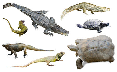 reptilian: set of several reptilian. Isolated on white