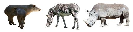 ungulate: Set of Odd-toed ungulate animals. Isolated over white background