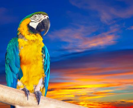 cloude: Green-winged macaw (Ara chloropterus) against sunrise sky