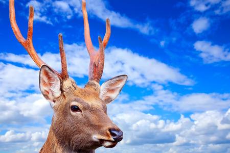 cervus: Sika deer (Cervus nippon) against sky