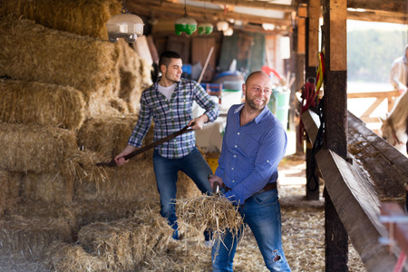working animal: Two american farm workers feeding horses with the hay at stable Stock Photo