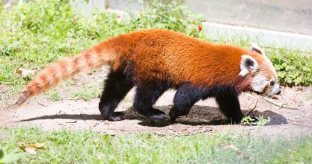 undomestic: Red panda (Ailurus fulgens) walking in grass at ground