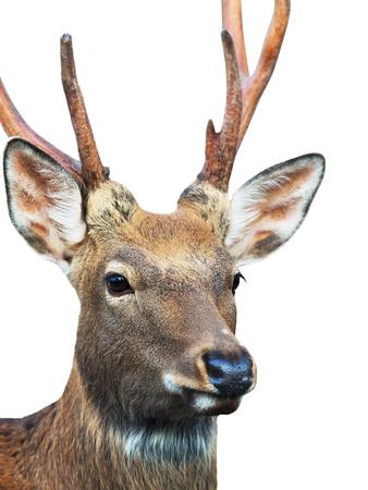 sika deer: Head of Sika deer (Cervus nippon) also known as the spotted deer