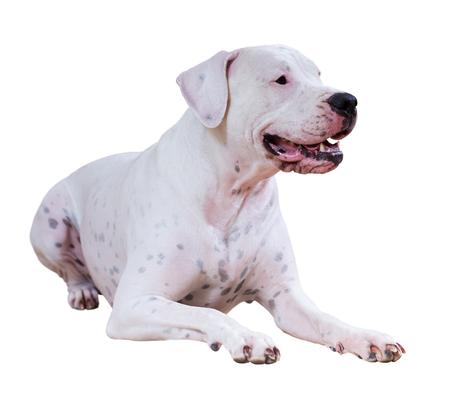 argentino: Lying dogo Argentino. Isolated over white background