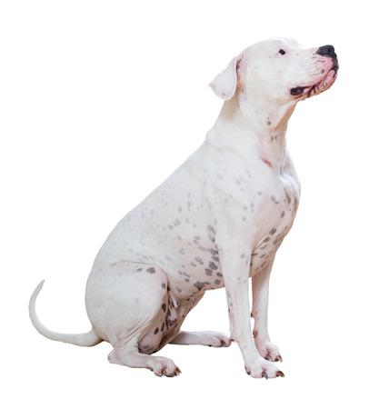 argentino: Dogo Argentino, isolated on white background Stock Photo