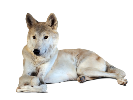 lupus: lying grey wolf (canis lupus) over white with shade